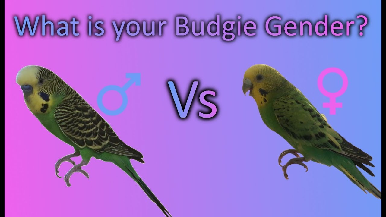 How to tell a budgies sex
