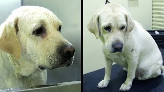Bathing A Labrador | How To Take Care Of A Dog | Dog Grooming