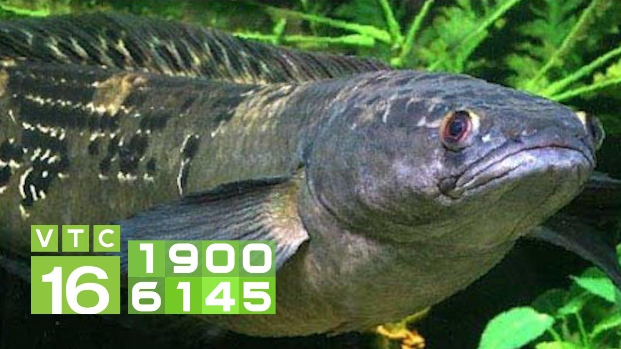 Kỹ thuật nuôi cá chuối hoa trong bể xi măng   VTC16