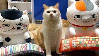 Cat Fighters! ぬこぬこファイターズ【マンチカンズ 】