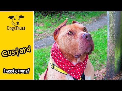 Custard Is a Sociable French Mastiff Cross, Who Loves Affection | Dogs Trust Bridgend