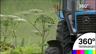 Более 70 гектаров борщевика истребили в Одинцовском районе