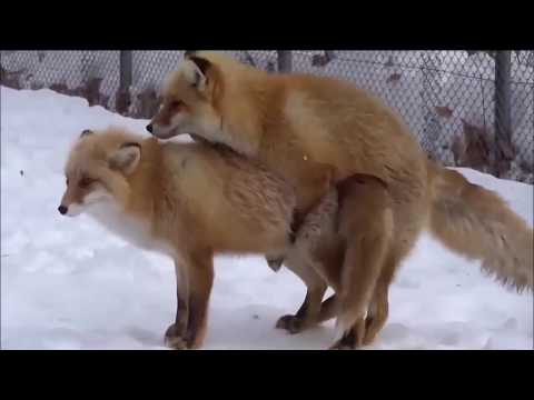 Fox M ating in Love and Playing Around The World