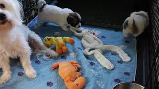 Coton de Tulear Puppies For Sale - Kiwi 2/2/21