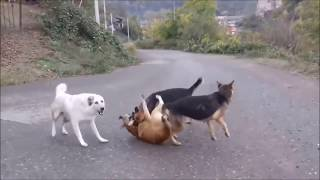 PORN Wife cheating husband (DOG MATING FIGHT)