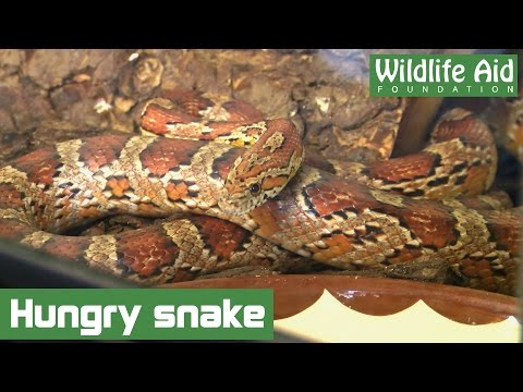 How to feed a Corn Snake
