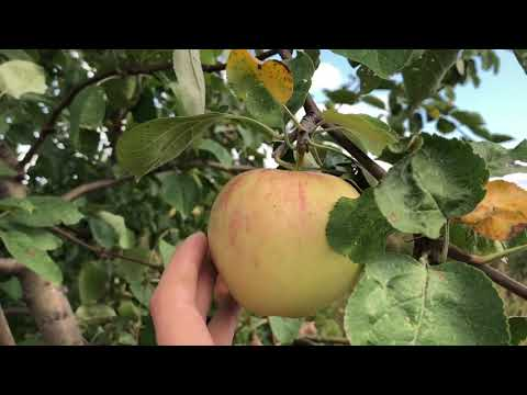 """Обзор сорта яблони """"Мечта"""""""
