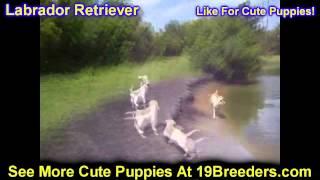 Labrador Retriever, Puppies, For, Sale, In, Olathe, Kansas, County, Ks, Fairfield, Litchfield, Middl