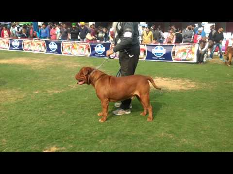 French Mastiff dogs in GKC Dog show - Judge selecting Best in breed