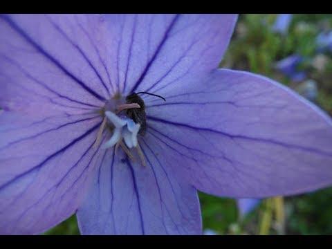 Вопрос: Как вырастить колокольчик скученный из семян?