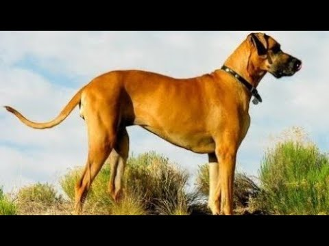 World's Tallest Dog's You Never Seen Before Guinness World Record's