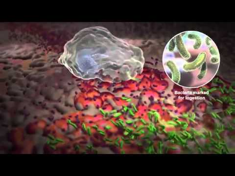 Neutrophils and How White Blood Cells Work