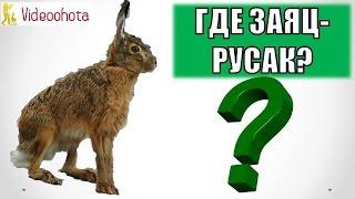 Где и Как Искать Зайца-Русака на Охоте? Videoohota