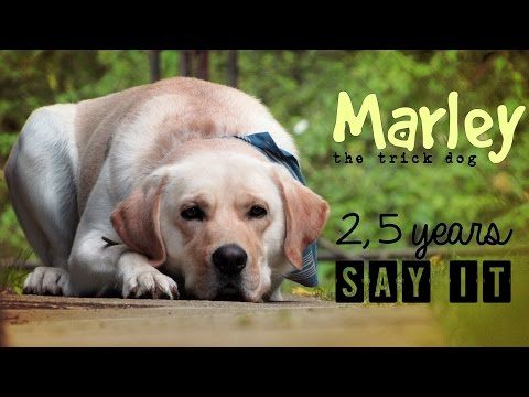 Labrador Retriever Marley (2,5 years) | SAY IT ♡