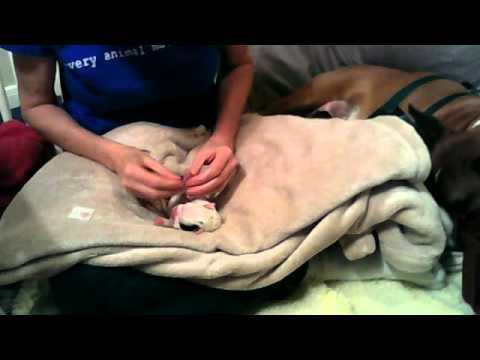Dewclaw Removal Technique on Day Old Puppy using Thumbnail Technique