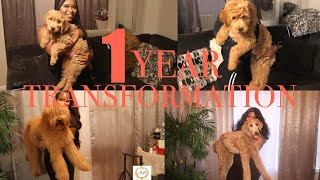 8 WEEKS TO 1 YEAR TRANSFORMATION  | F1b STANDARD GOLDENDOODLE HONEY