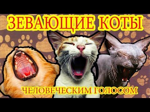 Кошки зевают - смотреть или скачать на