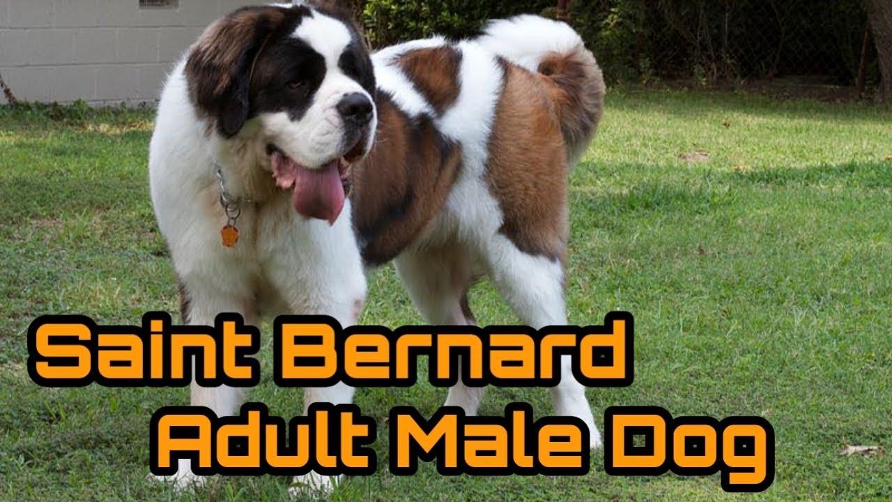 Saint Bernard Male Dog For