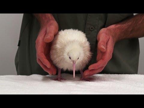 wei e weihnachten f r vogelfans kiwi k ken in neuseeland. Black Bedroom Furniture Sets. Home Design Ideas