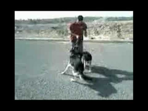 dog maroc