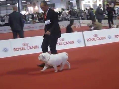 Bedlington Terrier Crufts 2013 World Dog Show 2015 - ...