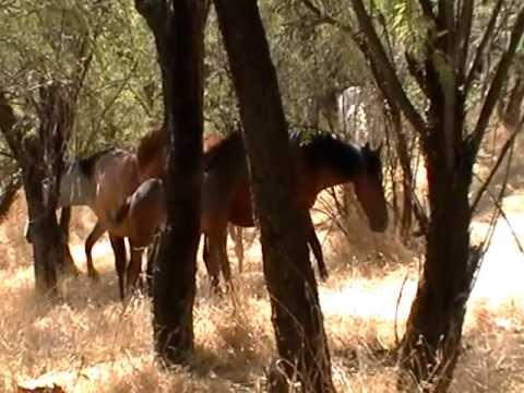 AZ Salt River Wild Horses headed to water