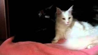 черный и белая мейн куны