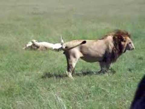 Lion Porn 2