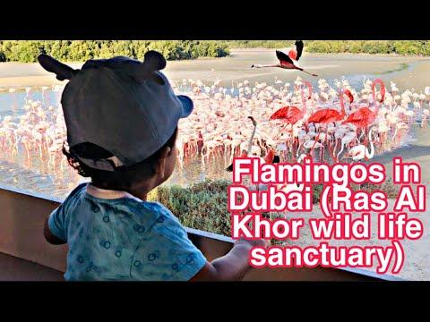 Flamingos in Dubai  / Ras Al Khor Wild Life Sanctuary / Flamingo birds / Dubai / Bird Sanctuary
