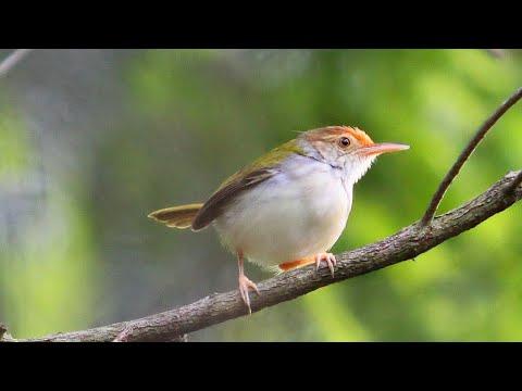 Suara Burung Prenjak Betina Gacor Ngecirrrrrr. Ciblek Betina Untuk Pikat