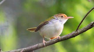 Download lagu Suara Burung Prenjak Betina Gacor Ngecirrrrrr Ciblek Betina Untuk Pikat MP3