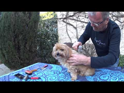 How to brush your Lhasa Apso