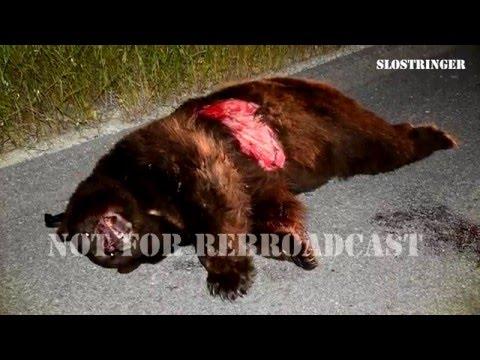 4/2/16 Highway 101 Atascadero, CA 400 Pound Bear Vs. Vehicle Rollover