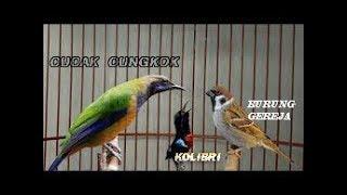 Download Lagu Suara Burung Cucak Cungkok Kolibri Burung Gereja Kicauan Burung Paling Dicari MP3