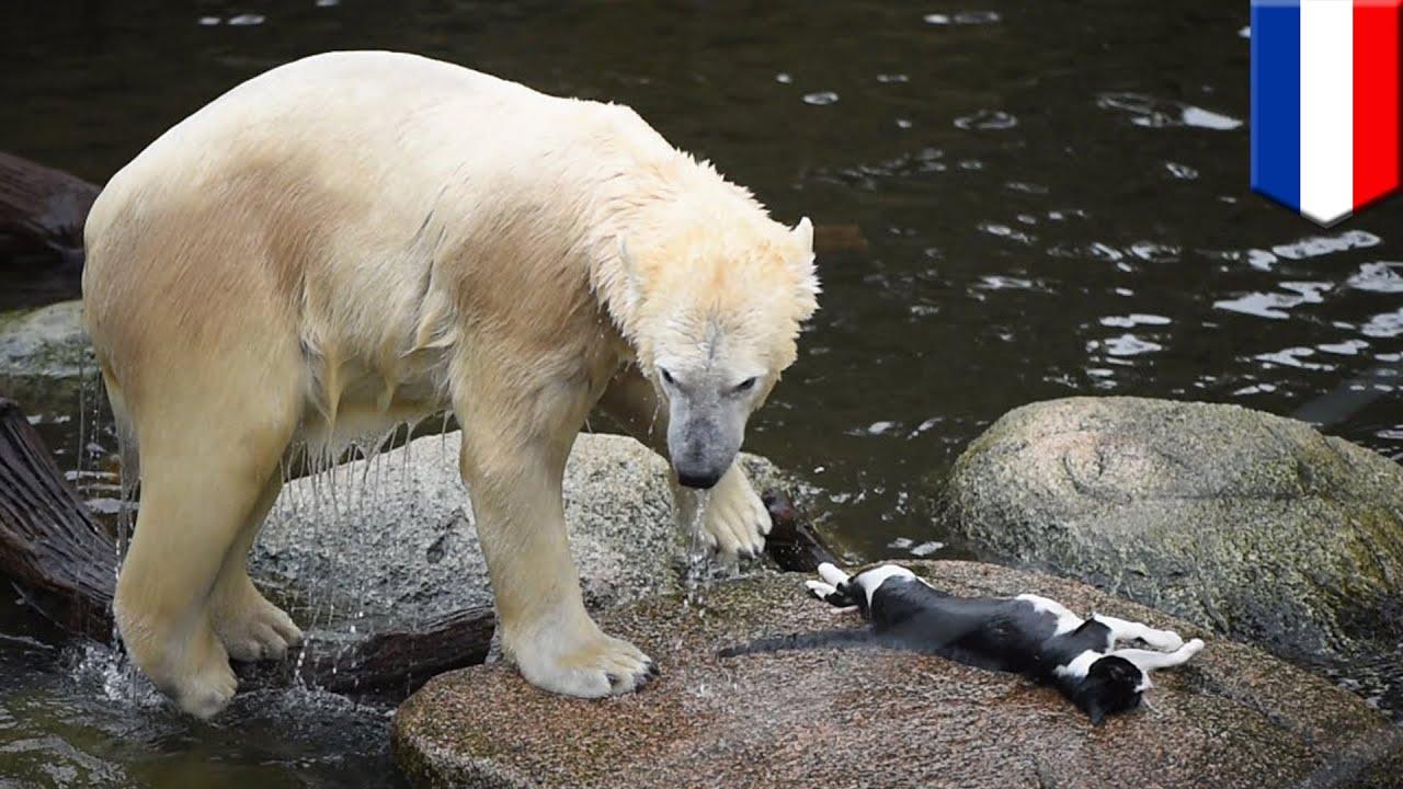 Polarbear Eats Dog