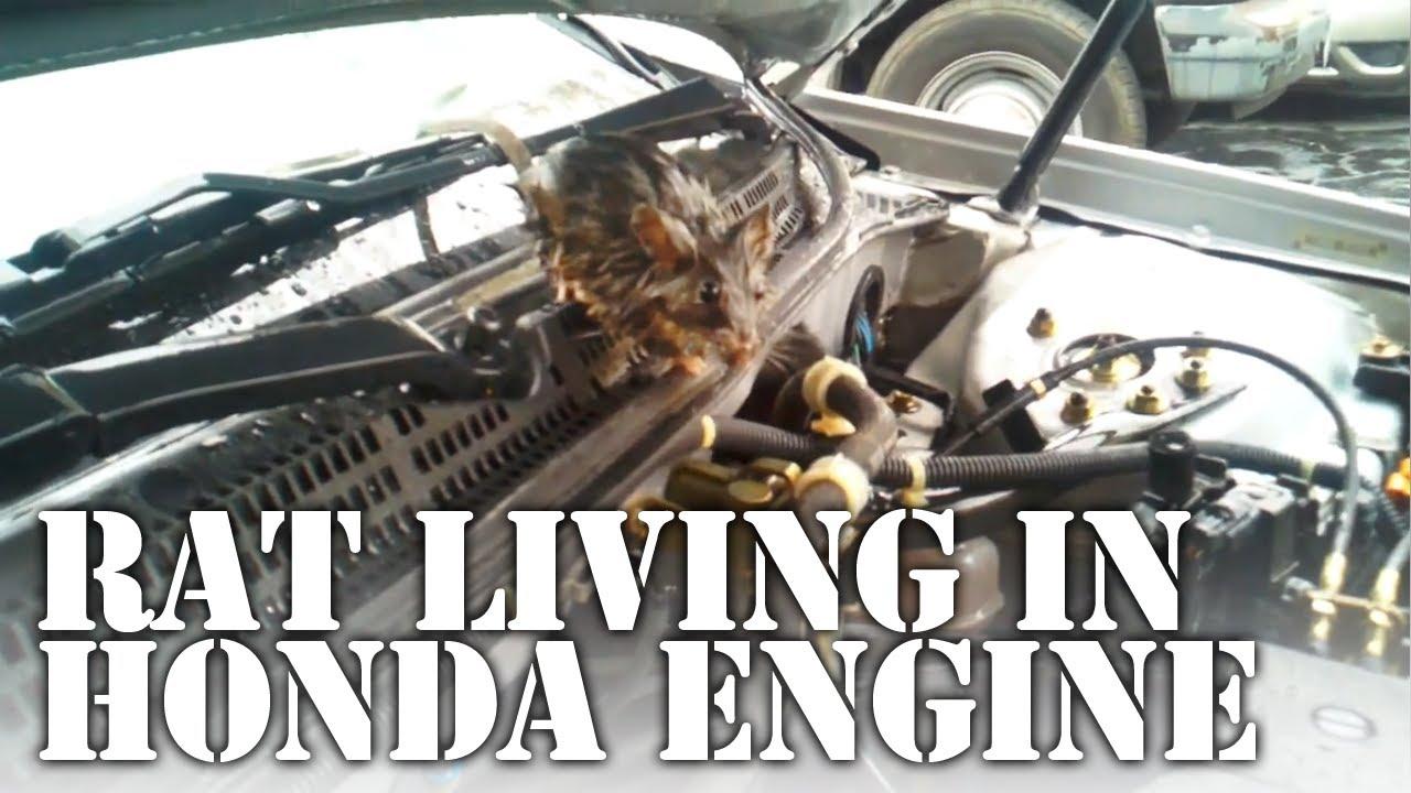 Wet Rat Living In Engine Bay Of Honda Accord V6 Youtube