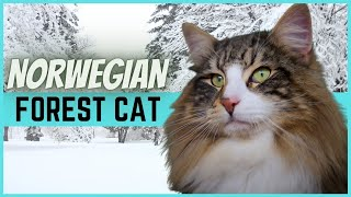 Norwegian Forest Cat  All you need to know about this cat breed.