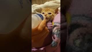 Bottle feeding a swaddled Kitten...