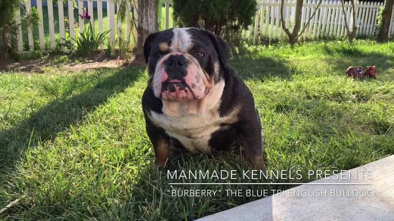 Rare English Bulldog Blue Tri Lilac Tri English Bulldog
