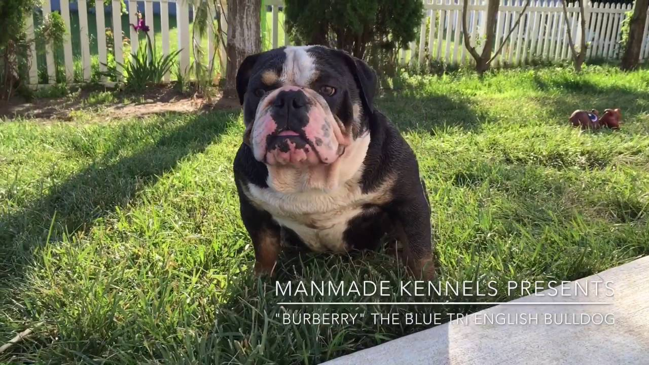 rare english bulldog blue tri lilac tri english bulldog puppies for sale bulldog puppies for sale youtube