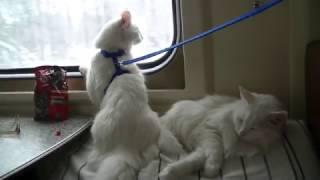 Ангорские кошки в поезде (это не мейн куны!)