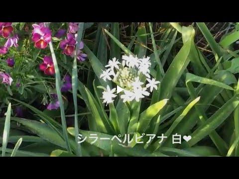 まるおの母 まるこの宿根草と低木の庭 2018 05 25 真夏日で強風吹きまくりだった庭夕方は涼しくまるこは球根植えでダウン寸前
