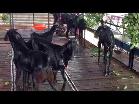 उस्मानाबादी शेळीपालन | Pure Breed Osmanabadi Goats, Osmanabadi Goat Farm,