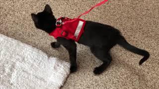 Adoptable kitten Pudding, a sweet short hair black female kitten