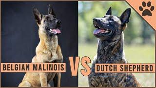 Belgian Malinois vs Dutch Shepherd
