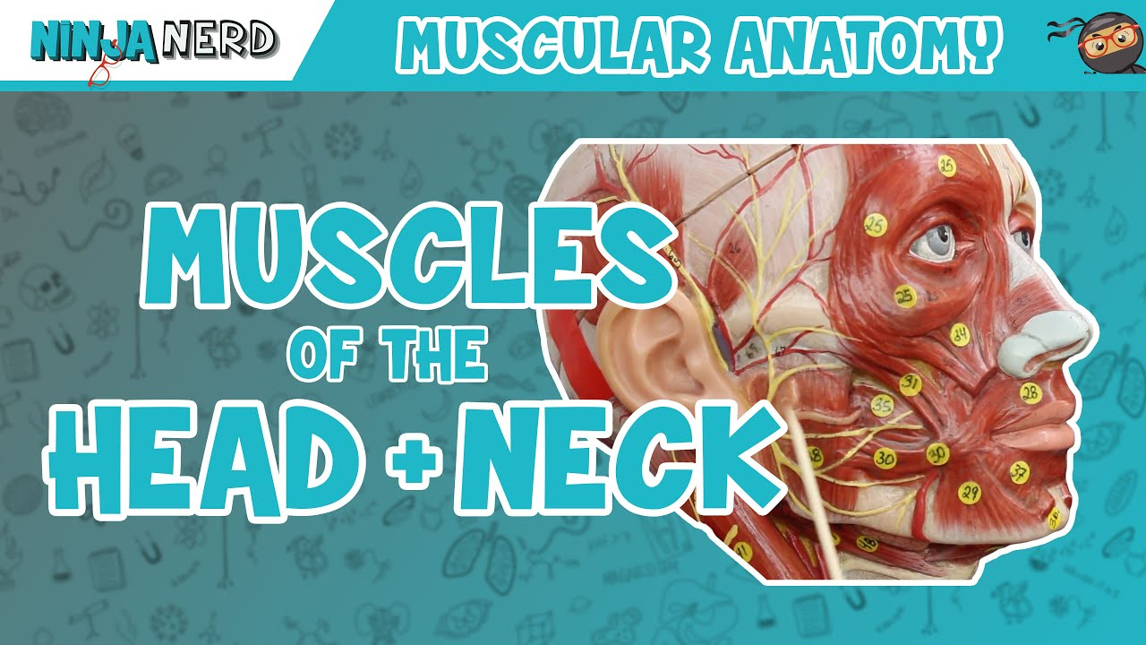 Muscles Of The Head Neck Anatomy Model Youtube