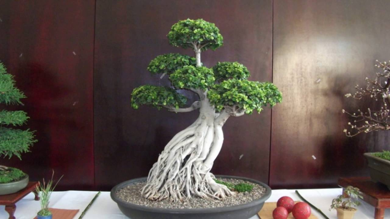 Ginseng Ficus The Perfect Bonsai Tree For The Beginner Youtube