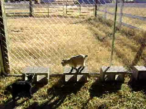 Baby Pygmy Goats Having Fun In Pen