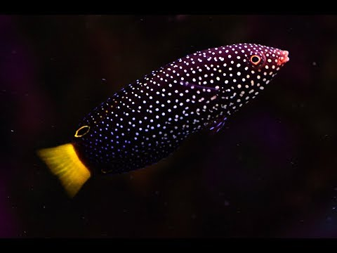 How To Quarantine Wrasses