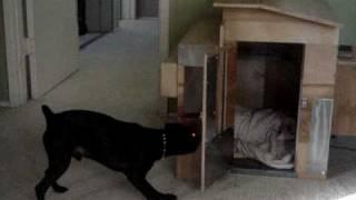 Dog Going Crazy For Laser Pointer